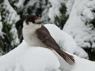 Gray Jay (Camp-robber)