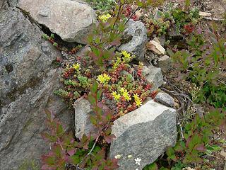 Sedum on the rocks?? 5400ft/nearly 7 mi