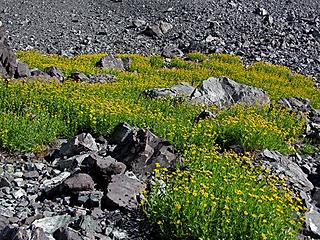 Scree sunflowers