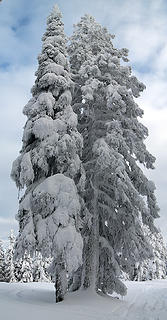 Pair of Taller Snowy Trees