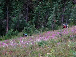 Descending sheep trail in fireweed and asters