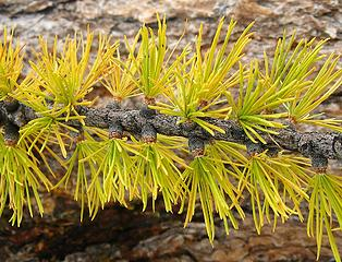 Larch needles turning from green to yellow