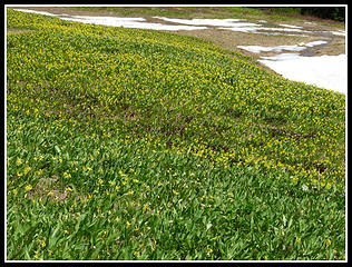 Thick With Glacier Lilies