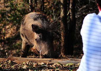 Warthog, Lokuthula Lodge, Victoria Falls, Zimbabwe