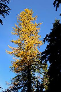 Western larch rising above the shadows