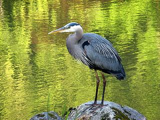 Heron at the Japanese Garden
