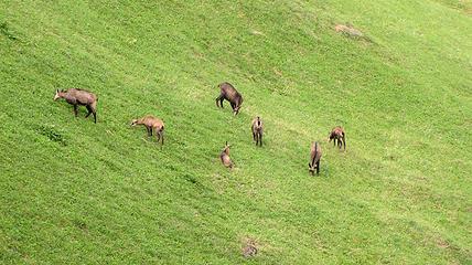 murren-goats