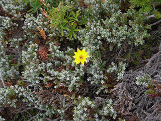 Lone yellow wildflower in hardy evergreen at 5100 ft/6.6 mi