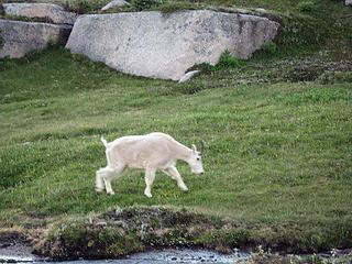 Goat in Camp