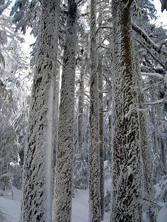 moss and snow coated tall trees