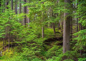 Rainier National Park Forest Serenity