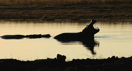 Hippo, Hwange National Park, Zimbabwe