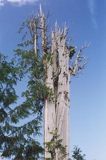 western-red-cedar-0706-1