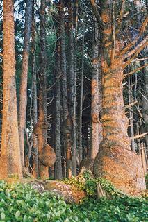 spruce-burl-trail-kalaloch-0706-1