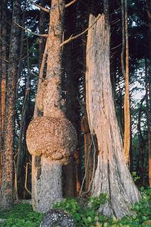 spruce-burl-trail-kalaloch-0706-2