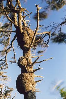 spruce-burl-trail-kalaloch-0706-3