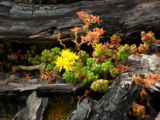Stonecrop (?) flowers along the ridge goat path