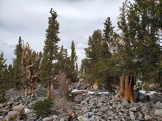 Amazing Bristlecone Pine grove