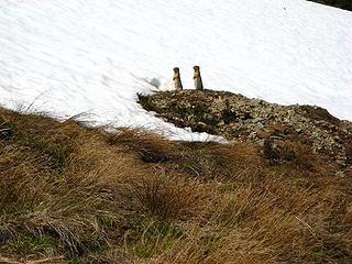 Synchronized ground squirrels standing