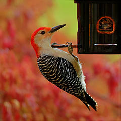 14- Red-bellied woodpecker