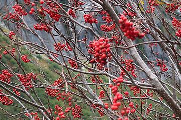 bird food: mountain ash.[url=https://farm2.staticflickr.com/1952/44678122615_8b425af13a_o.jpg](Bear food[/url] too! Link to photo on trail on 10/27 by Steph Abegg).