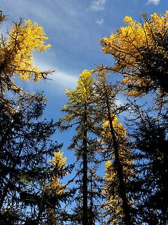 Larch tops catching the light