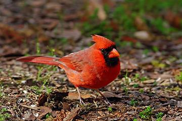 20- Cardinal