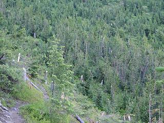 Snapped trees slope on Crystal Peak trail.