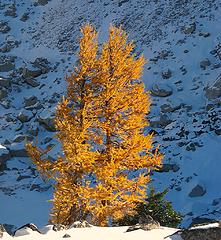 First sunlit larch