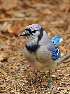 21- Blue Jay