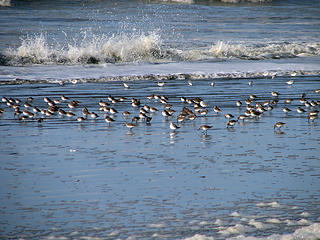 shore-birds3