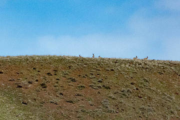 Mule deer disappearing over the ridge