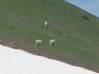 goats near Tamanos summit