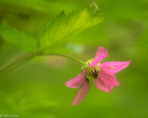 salmonberry flower (1 of 1)