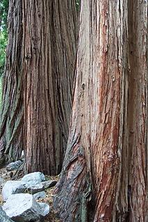 Incense Cedar in Icehouse Canyon - San Gabriel Mountains - SoCal