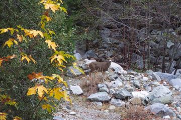 Mule deer buck in Icehouse Canyon - San Gabriel Mountains - SoCal