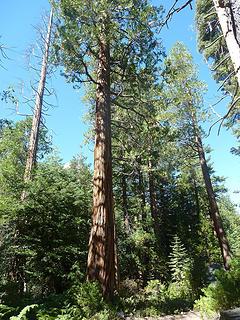 sequoia?