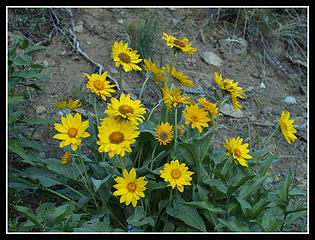 Balsamroot Bush