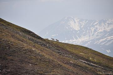 Dall Sheep from Alaska Range Hike