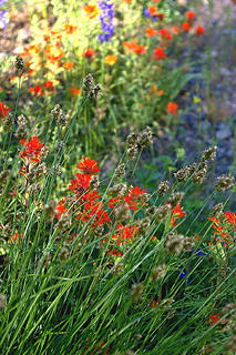 Methow River paintbrush and sedges
