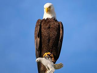 Eagle (June)