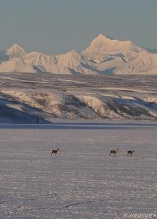 Caribou on Summit Lake, Alaska Range