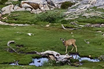 Mule deer doe, Middle Rae Lake, Kings Canyon National Park