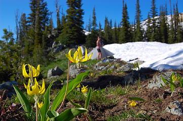 Glacier Lilies at camp.