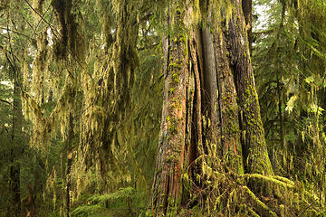 Quinault Rain Forest