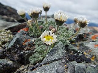 Fleabane on Mt Aix Summit