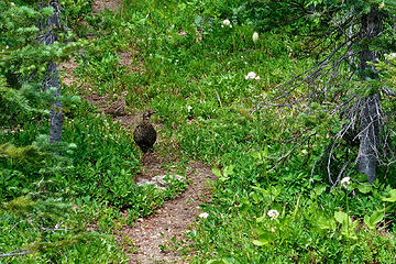 Grouse on the trail