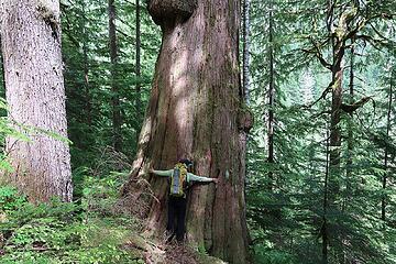 a giant cedar near Terror Creek