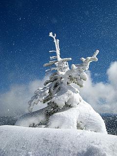 Windblown snow & rimed little tree