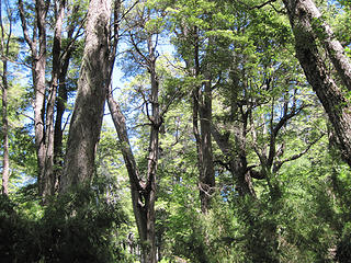 Coihue forest